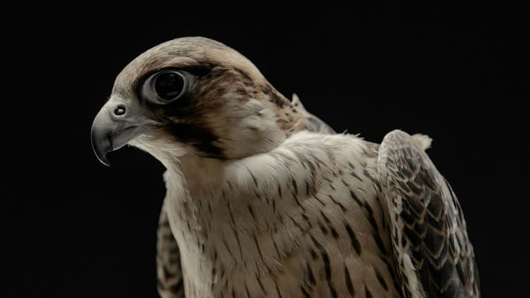 LAFC Falcons - https://la-mp7static.mlsdigital.net/elfinderimages/Photos/Falcon/Olly_1920x1080.jpg