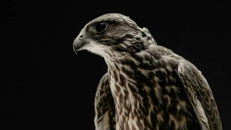 LAFC Falcons - https://la-mp7static.mlsdigital.net/elfinderimages/Photos/Falcon/Fig_1920x1080.jpg
